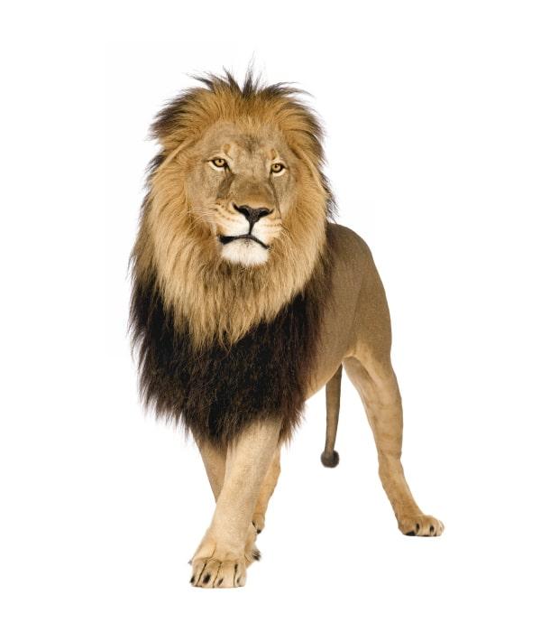 Tieressenz Löwenpower