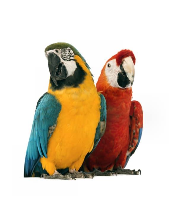 Tieressenz Papageientalk
