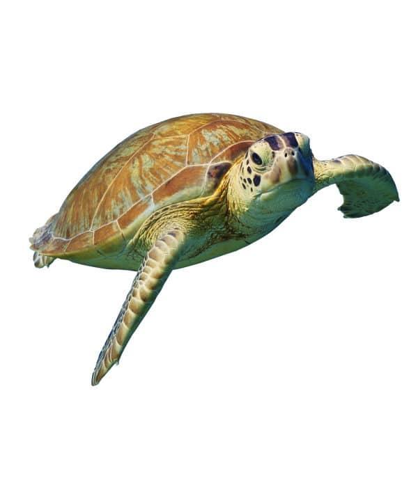 Tieressenz Schildkröten-DNA