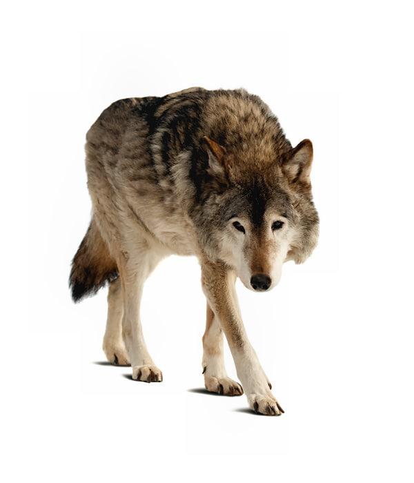 Tieressenz Wolfobhut