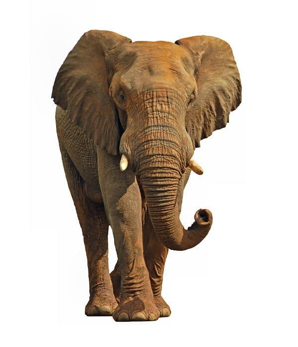 Tieressenz Elefantenerdung